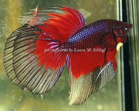 Betta fish normal behavior for Betta fish personality